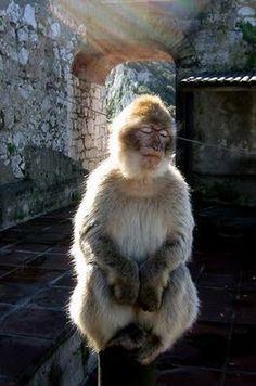 monkey meditating